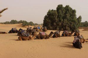 Kamele im Schatten